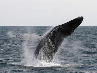 2-2  ブリーチングするザトウクジラ 撮影:笹森琴絵 .JPG