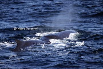 2016.10.25釧路沖でのんびりしているマッコウクジラ.JPG
