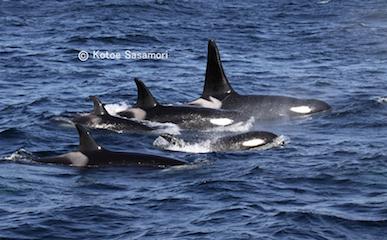a2016.11.02釧路沖に毎年あらわれる、シャチのポッド(群れのこと).JPG