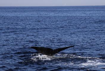 5-1  ゆったりと尾びれをあげるマッコウクジラ 撮影:笹森琴絵 .JPG