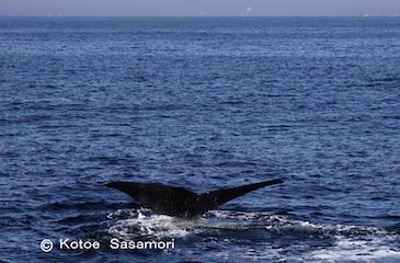 マッコウクジラの尾びれと釧路の町  笹森.JPG