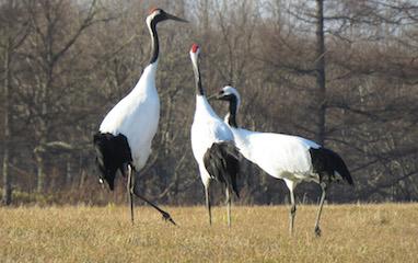 威嚇(左の♂2羽がにらみ合い、右の♀は争う気がなく普通の姿勢).jpg