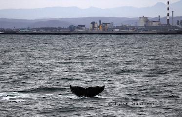 釧路の町と、ザトウクジラの尾びれ  笹森.JPG